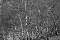 Birken Wienerwald
