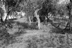 Olivenhain   Toskana Italien