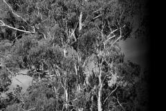 Eukalyptus   Victoria Australien