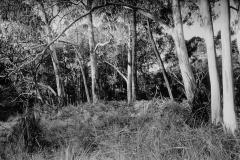 Eukalyptusbäume  Victoria Australien