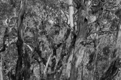 Eukalyptuswald  Victoria  Australien